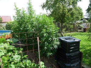 natural organic fertilizer for weed
