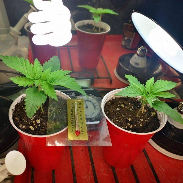 cannabis grown in soil