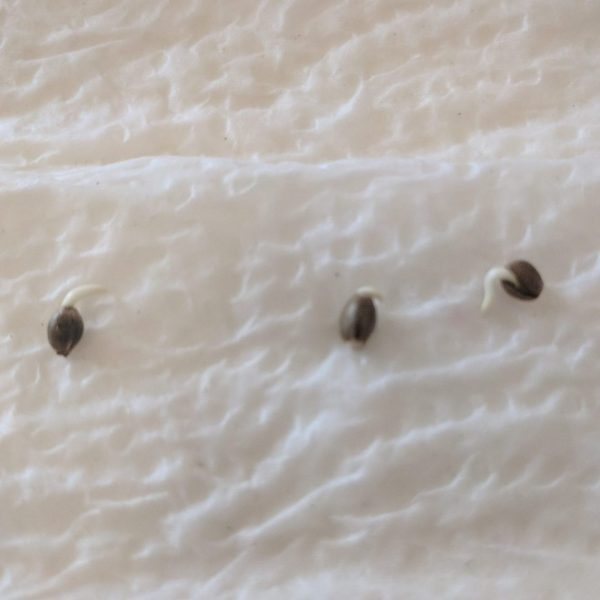 Sprouted cannabis seeds