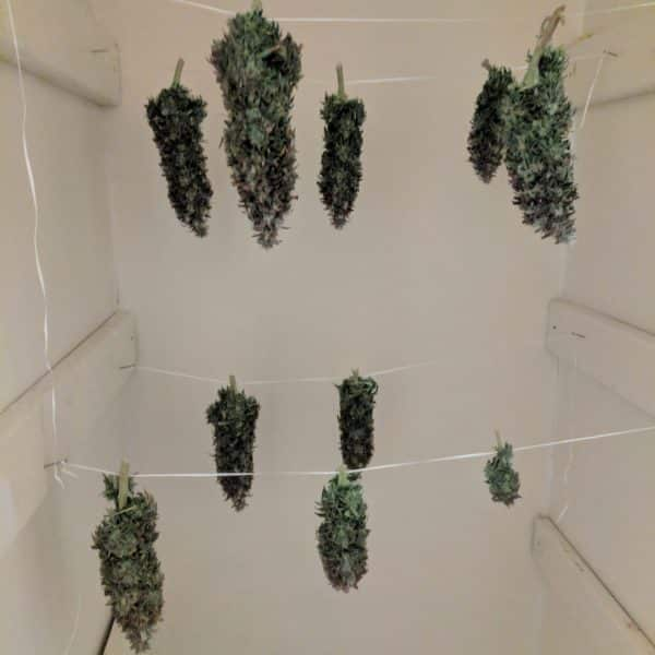 Drying Cannabis