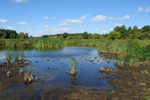 don't use swamp water for growing cannabis