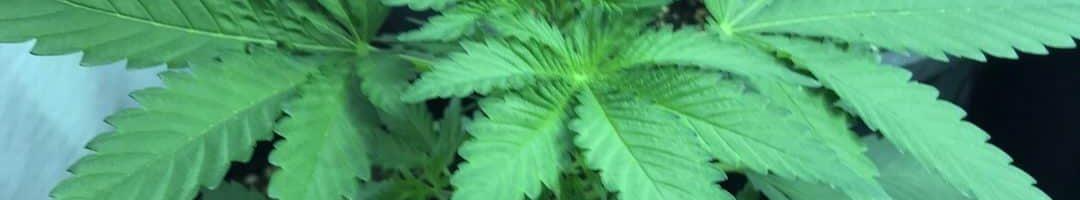 Cannabis végétatif