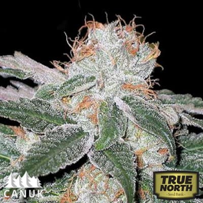 white-widow-canuk-seeds