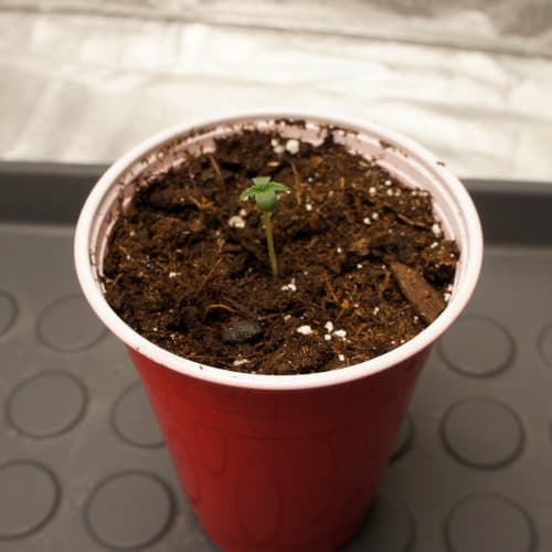 semis de cannabis